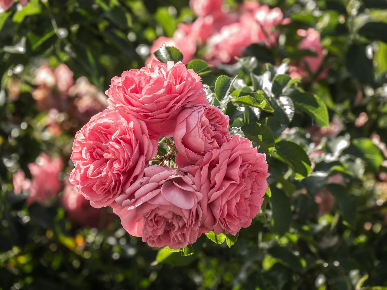flowers, roses, rosebush