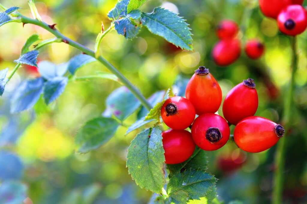 rose hip, red, nature