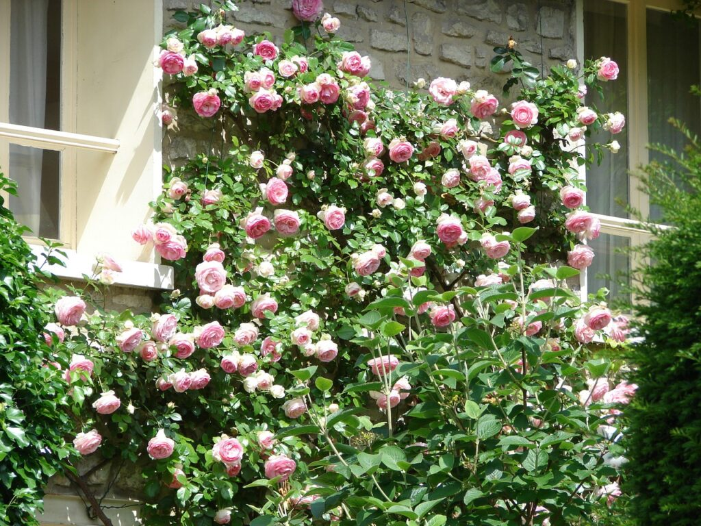 wall, roses, flowers