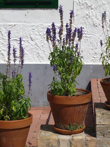 Pflege Lavendel